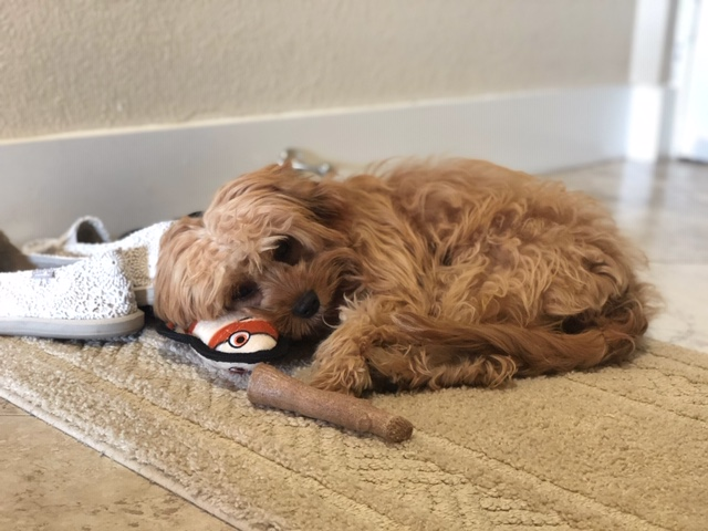 Lily20 golden cavadoodle pup