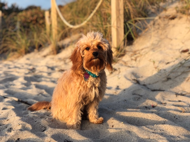 Lily5 golden cavadoodle on beach