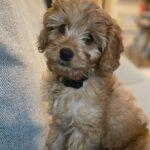 Mason golden cavadoodle puppy