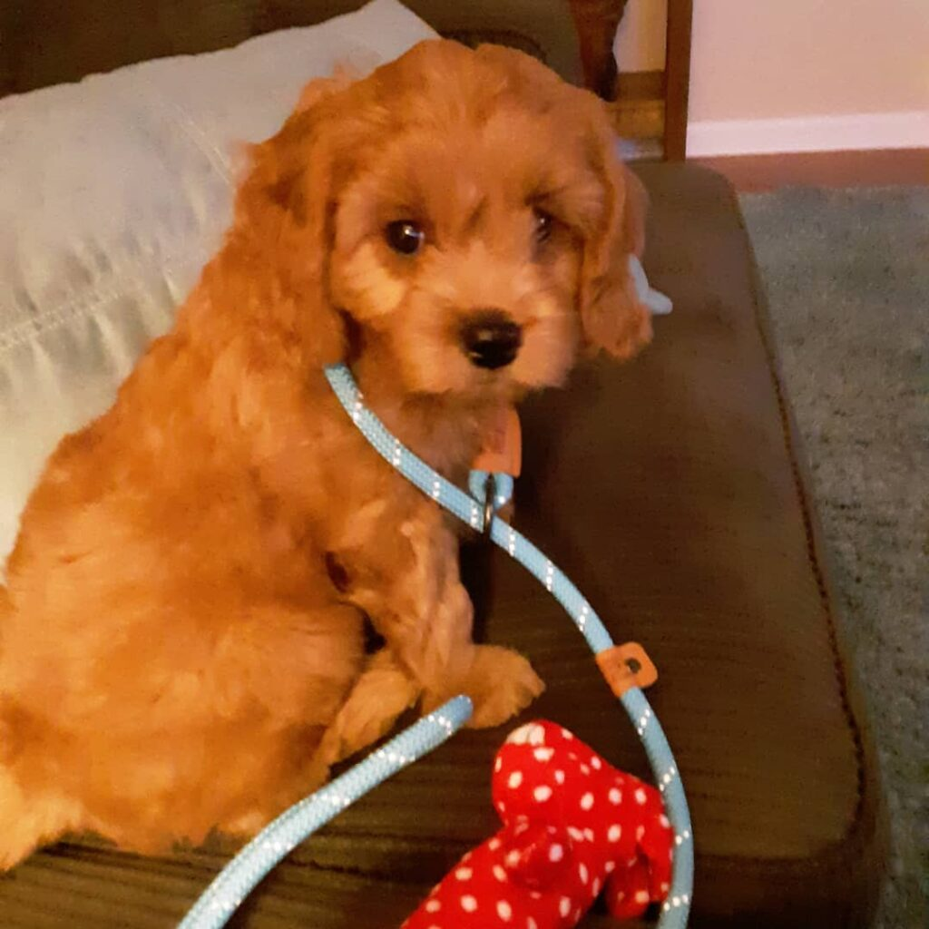 Miles golden cavadoodle at home with ReinaBoyd family